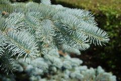 蓝色云杉的分支,特写镜头 库存照片