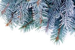 蓝色云杉的分支 图库摄影