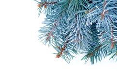 蓝色云杉的分支 免版税库存照片