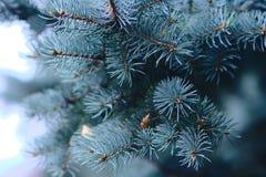 蓝色云杉的分行 库存图片