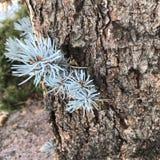 蓝色云杉的小树枝 图库摄影
