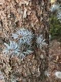 蓝色云杉的小树枝 库存照片