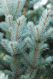 蓝色云杉的枝杈关闭  库存照片