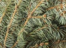 蓝色云杉的枝杈 免版税库存图片
