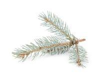 蓝色云杉的枝杈 图库摄影