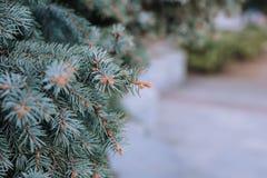 蓝色云杉的针的纹理 免版税库存图片