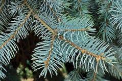 蓝色云杉的结构树 库存图片