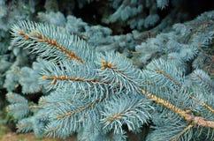 蓝色云杉的结构树 免版税库存图片