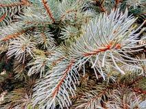 蓝色云杉,生长在傲德萨 库存图片