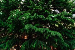 蓝色云杉,绿色云杉 免版税库存图片