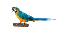 蓝色五颜六色的金刚鹦鹉鹦鹉 库存图片