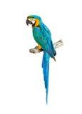 蓝色五颜六色的金刚鹦鹉鹦鹉 免版税库存照片