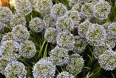 蓝色人为巨型葱花或葱属Giganteum 免版税图库摄影