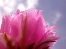 蓝色仙人掌花粉红色天空 免版税库存照片