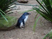 蓝色企鹅 免版税库存图片