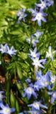 蓝色会开蓝色钟形花的草花春天 免版税库存照片