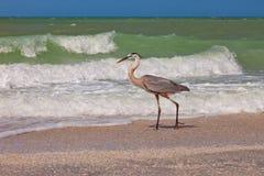 蓝色佛罗里达巨大苍鹭海岛sanibel 库存照片