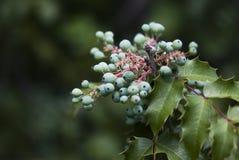 蓝色俄勒冈葡萄和绿色叶子 库存图片