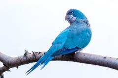 蓝色修士长尾小鹦鹉 免版税库存图片