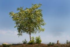 蓝色偏僻的天空结构树 免版税库存图片