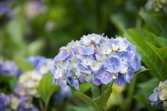蓝色八仙花属头状花序特写镜头在绽放的有绿色叶子背景  免版税库存照片