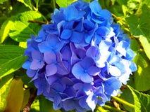 蓝色八仙花属花照片 免版税库存照片