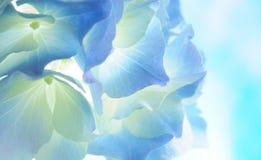 蓝色八仙花属 免版税库存照片