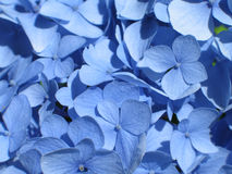 蓝色八仙花属 库存图片