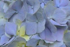 蓝色八仙花属关闭 库存图片