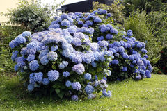 蓝色八仙花属在布里坦尼 免版税库存照片