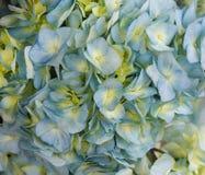蓝色八仙花属花 免版税库存图片