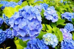 蓝色八仙花属花 库存照片