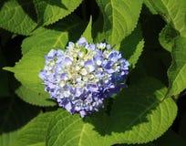蓝色八仙花属雪球绽放 免版税库存照片