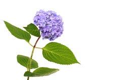 蓝色八仙花属 免版税图库摄影