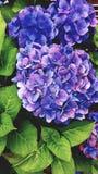 蓝色八仙花属 免版税库存图片