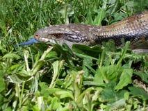蓝色公用蜥蜴纵向舌头 免版税库存照片