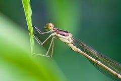 蓝色公用蜻蜓女性 库存照片