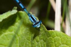 蓝色公用蜻蜓 库存图片