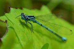 2蓝色公用蜻蜓 库存照片