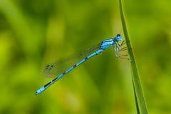 蓝色公用cyathigerum蜻蜓enallagma 图库摄影