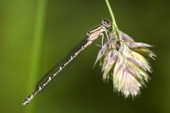 蓝色公用cyathigerum蜻蜓enallagma 免版税库存图片