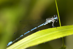 蓝色公用cyathigerum蜻蜓enallagma 库存照片