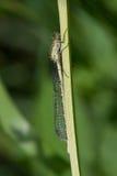 蓝色公用cyathigerum蜻蜓enallagma 库存图片