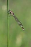 蓝色公用cyathigerum蜻蜓enallagma 免版税库存照片