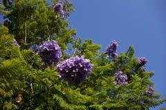 蓝色兰花楹属植物,南加州 库存照片