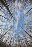 蓝色冠天空结构树 免版税库存照片
