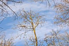 蓝色冠天空结构树 库存照片