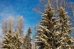 蓝色冬天天空的背景的积雪的森林 库存图片
