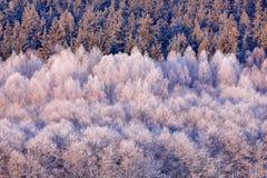 蓝色冬天风景、桦树森林有雪的,冰和霜 在日出前的桃红色早晨光 冬天微明,冷的自然 库存图片