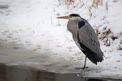 蓝色冻结的苍鹭荷兰池塘 库存照片